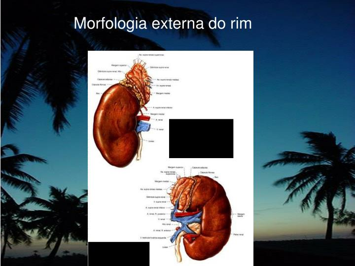Morfologia externa do rim