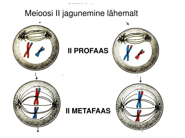 Meioosi II jagunemine lähemalt