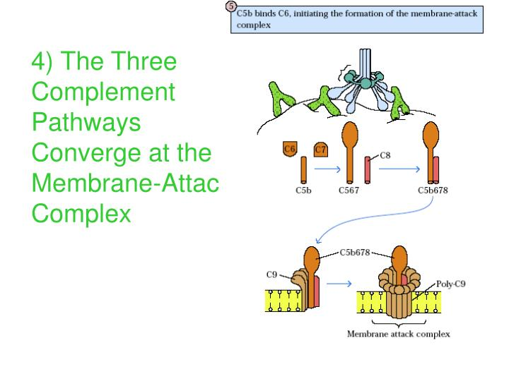 4) The Three Complement Pathways Converge at the Membrane-Attack Complex
