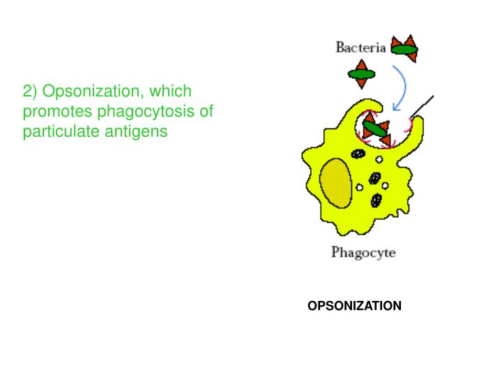 2) Opsonization, which promotes phagocytosis of