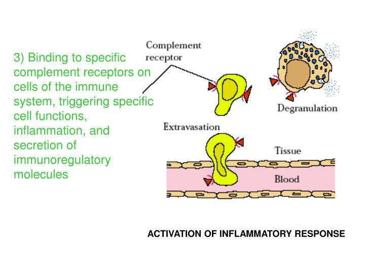 3) Binding to specific complement receptors on cells of the immune system, triggering specific cell functions,