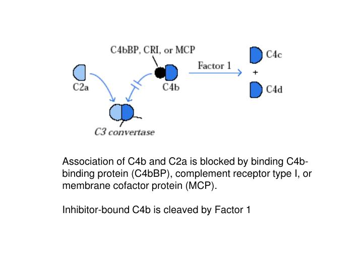 Association of C4b and C2a is blocked by binding C4b-binding protein (C4bBP), complement receptor type I, or membrane cofactor protein (MCP).