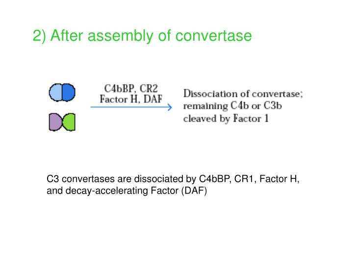 2) After assembly of convertase