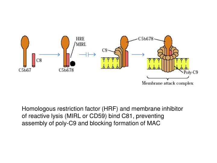 Homologous restriction factor (HRF) and membrane inhibitor