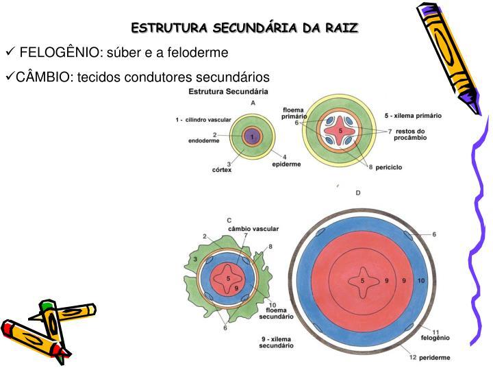 ESTRUTURA SECUNDÁRIA DA RAIZ