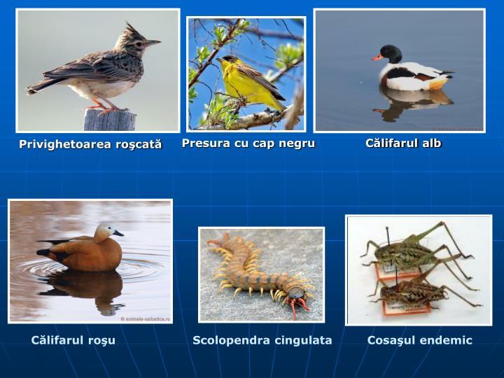 Clifarul rou                    Scolopendra cingulata         Cosaul endemic