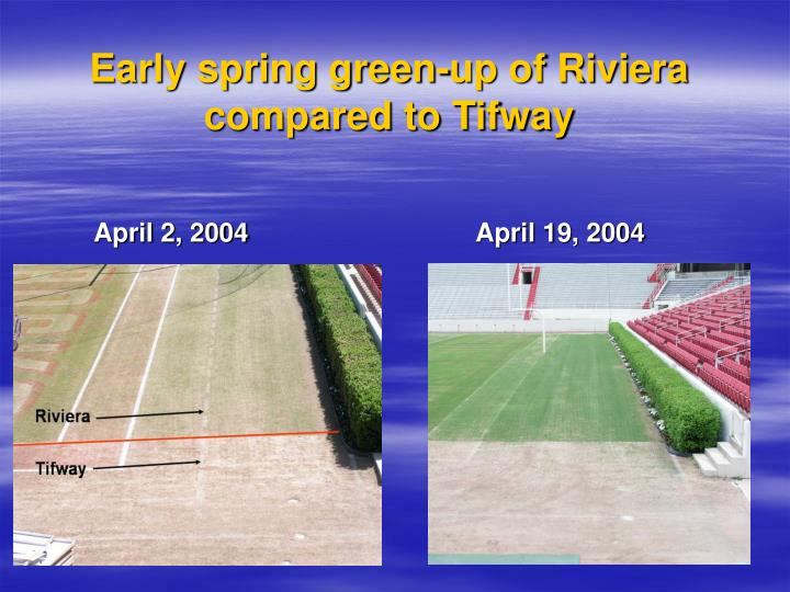 Early spring green-up of Riviera compared to Tifway