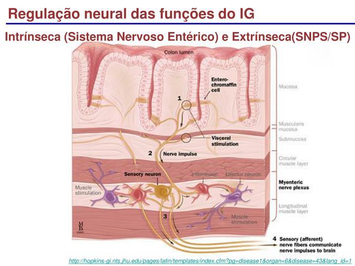 Regulação neural das funções do IG