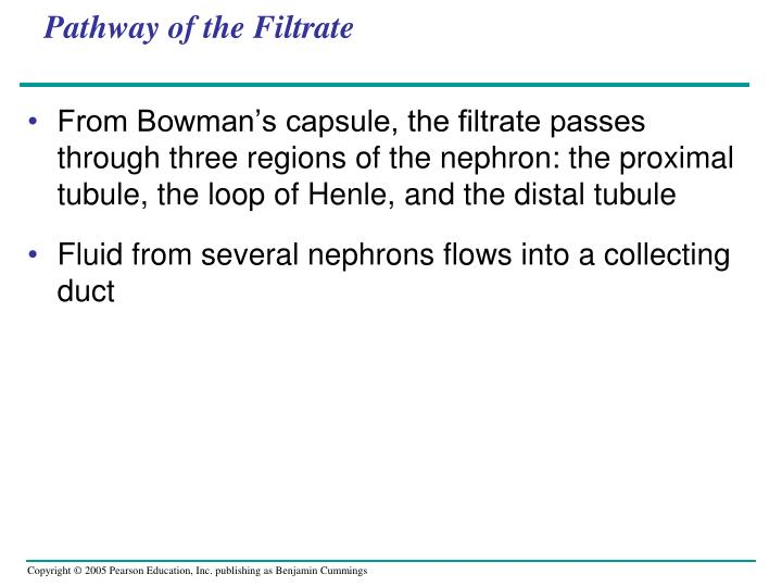 Pathway of the Filtrate
