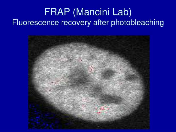 FRAP (Mancini Lab)