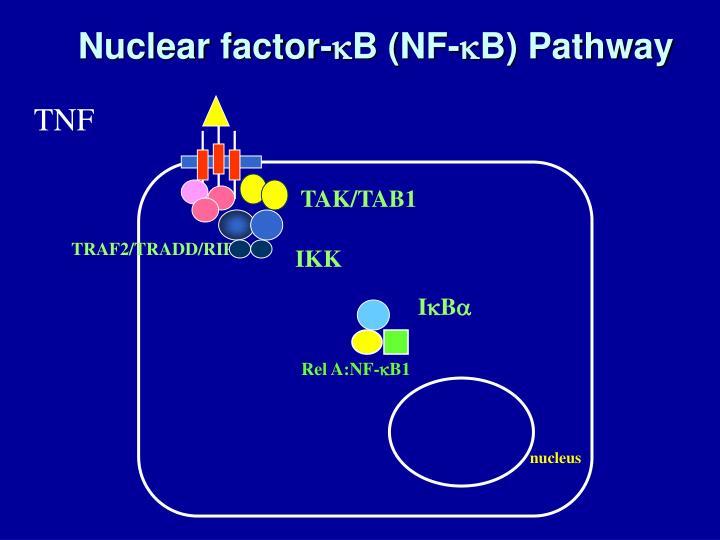 Nuclear factor-