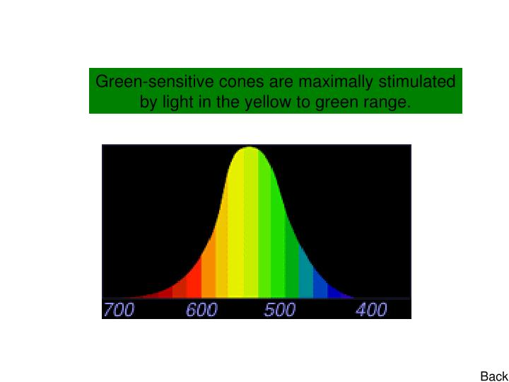 Green-sensitive cones are maximally stimulated by light in the yellow to green range.