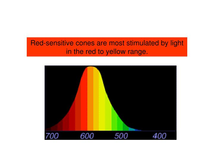 Red-sensitive cones are most stimulated by light in the red to yellow range.