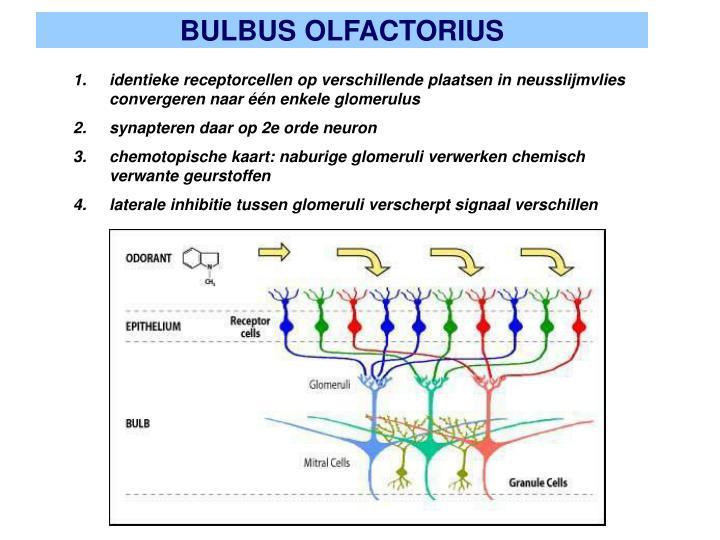 BULBUS OLFACTORIUS
