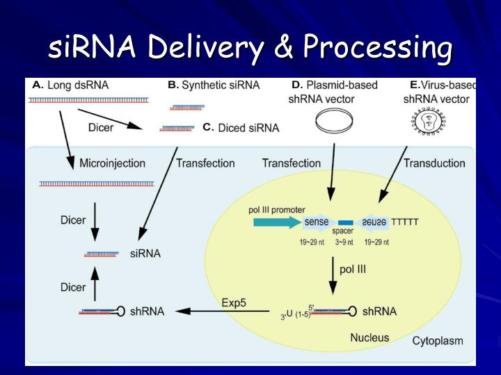 siRNA Delivery & Processing