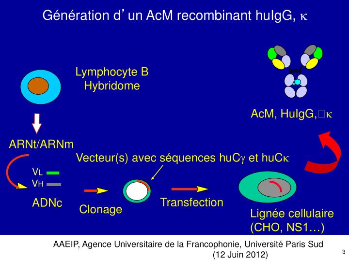 Lymphocyte B     Hybridome