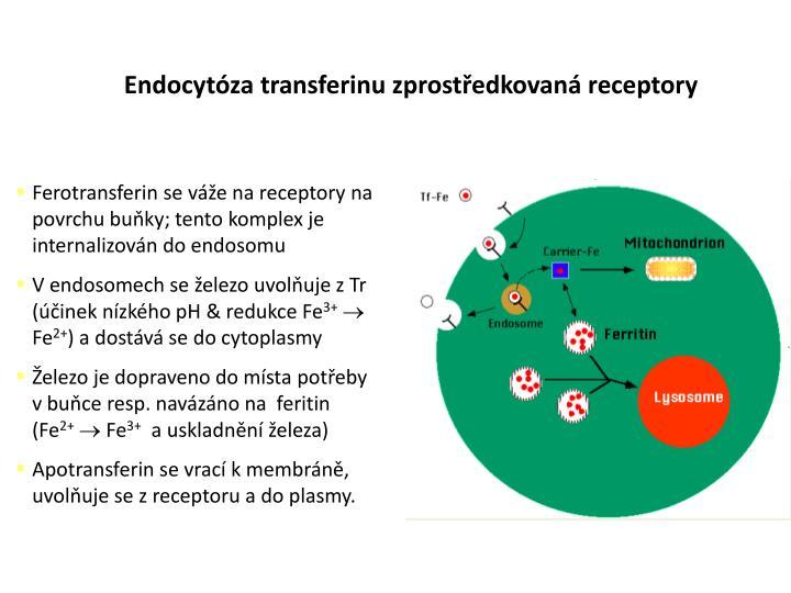 Endocytóza transferinu zprostředkovaná receptory