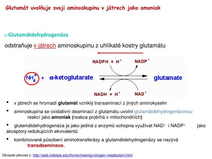 Glutamát uvolňuje svoji aminoskupinu v játrech jako amoniak