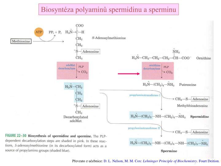 Biosyntéza polyaminů spermidinu a sperminu
