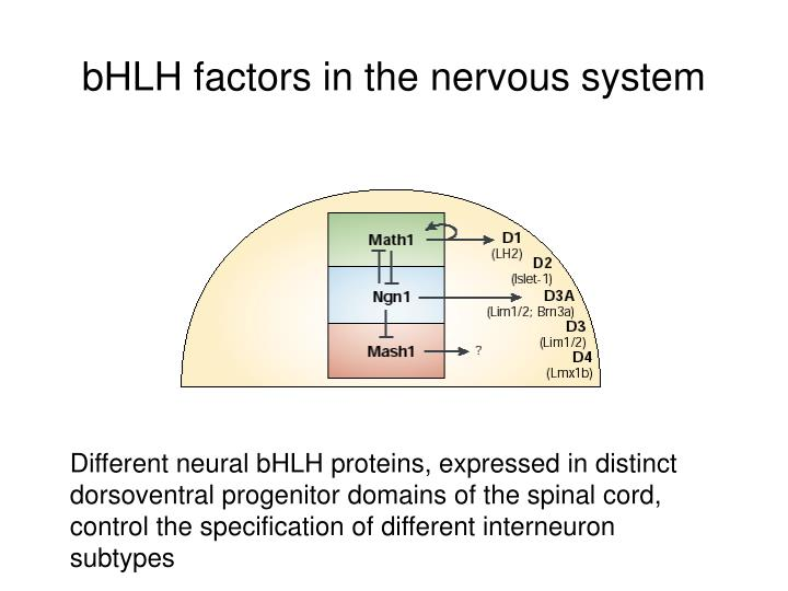bHLH factors in the nervous system