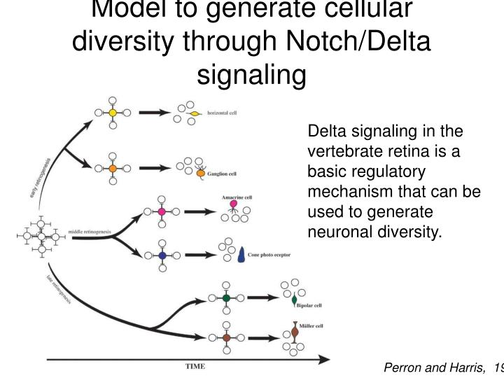 Model to generate cellular diversity through Notch/Delta signaling