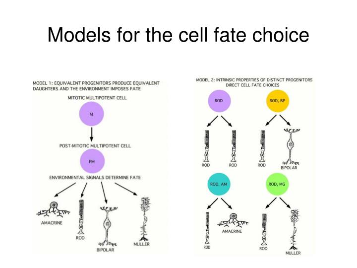 Models for the cell fate choice