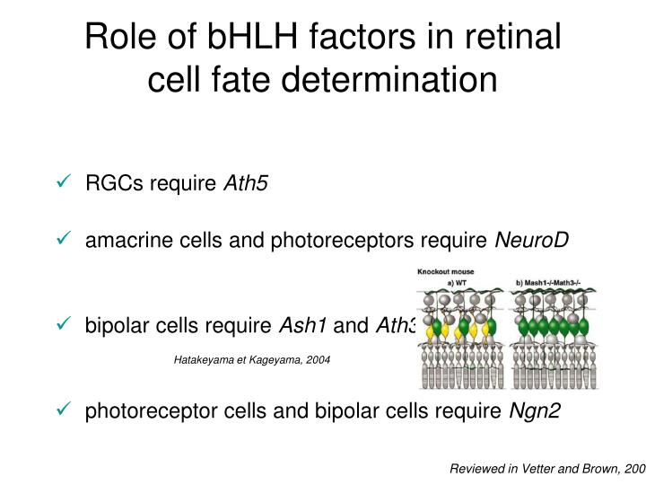 Role of bHLH factors in retinal cell fate determination