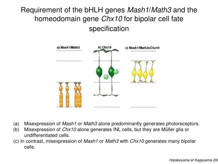 Requirement of the bHLH genes