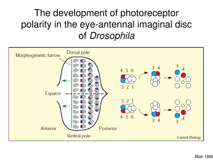 The development of photoreceptor polarity in the eye-antennal imaginal disc of
