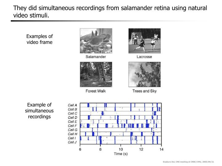 They did simultaneous recordings from salamander retina using natural video stimuli
