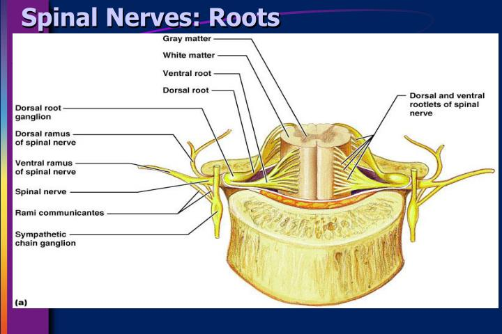 Lumbar spinal nerve roots