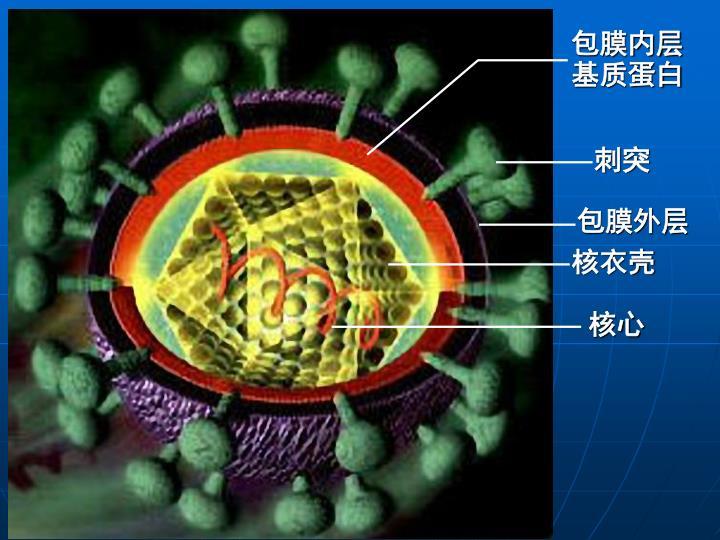 包膜内层基质蛋白