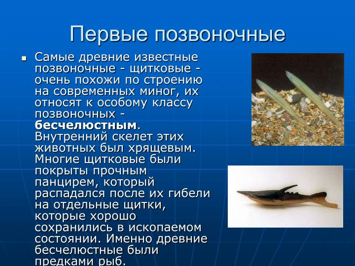 Самые древние известные позвоночные - щитковые - очень похожи по строению на современных миног, их относят к особому классу позвоночных -