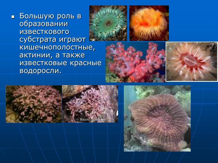 Большую роль в образовании известкового субстрата играют кишечнополостные, актинии, а также известковые красные водоросли.