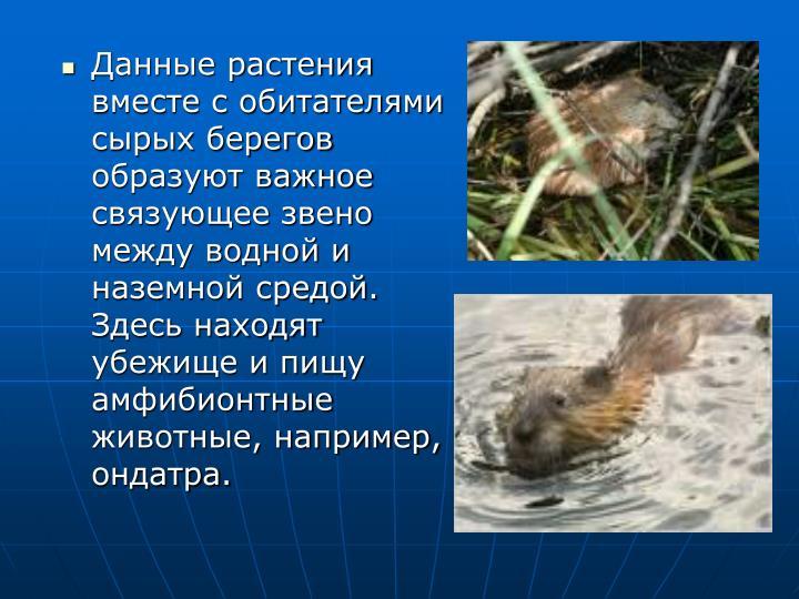 Данные растения вместе с обитателями сырых берегов образуют важное связующее звено между водной и наземной средой. Здесь находят убежище и пищу амфибионтные животные, например, ондатра.