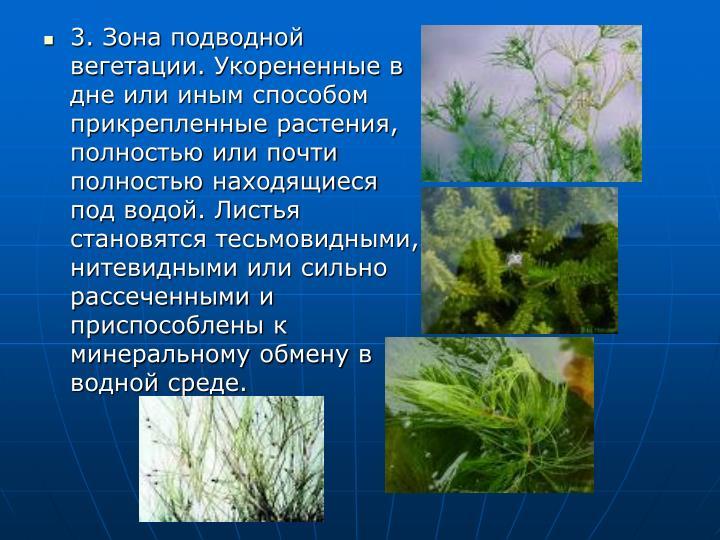 3. Зона подводной вегетации. Укорененные в дне или иным способом прикрепленные растения, полностью или почти полностью находящиеся под водой. Листья становятся тесьмовидными, нитевидными или сильно рассеченными и приспособлены к минеральному обмену в водной среде.