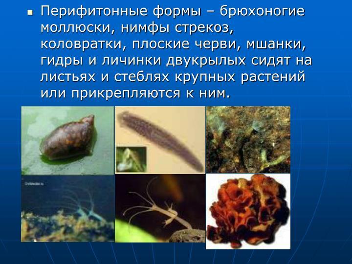 Перифитонные формы – брюхоногие моллюски, нимфы стрекоз, коловратки, плоские черви, мшанки, гидры и личинки двукрылых сидят на листьях и стеблях крупных растений или прикрепляются к ним.