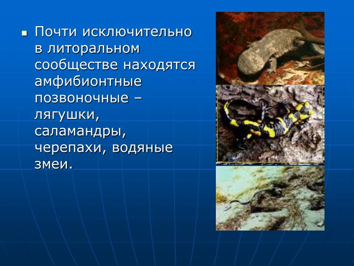 Почти исключительно в литоральном сообществе находятся амфибионтные позвоночные – лягушки, саламандры, черепахи, водяные змеи.