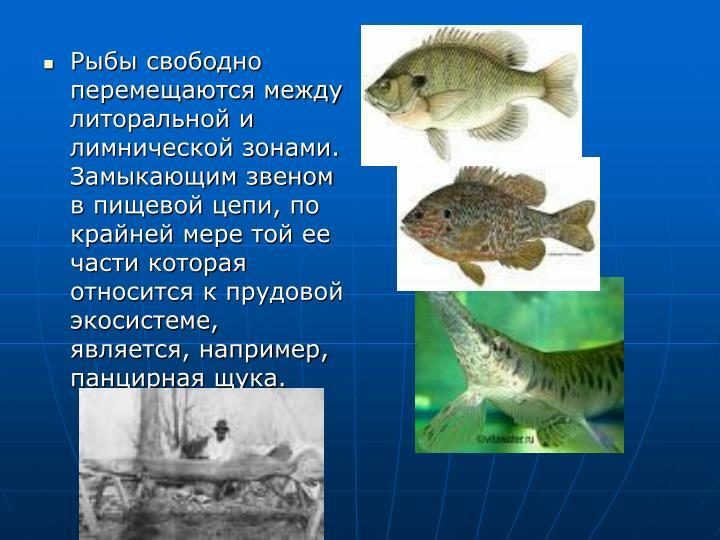Рыбы свободно перемещаются между литоральной и лимнической зонами. Замыкающим звеном в пищевой цепи, по крайней мере той ее части которая относится к прудовой экосистеме, является, например, панцирная щука.