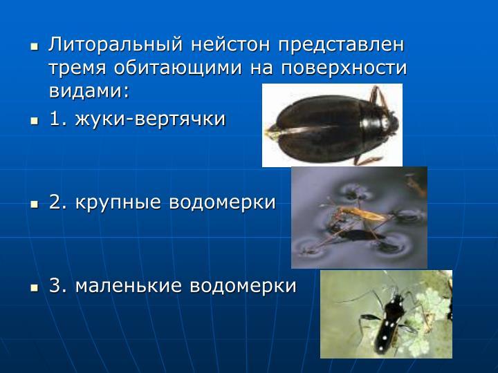 Литоральный нейстон представлен тремя обитающими на поверхности видами: