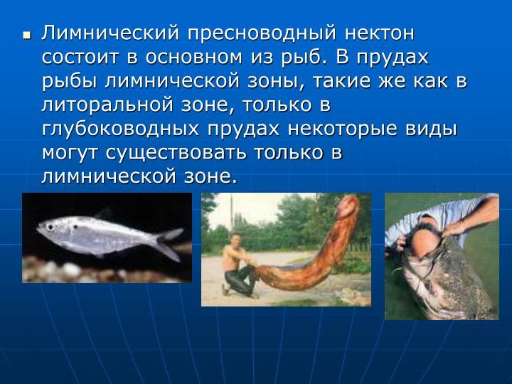 Лимнический пресноводный нектон состоит в основном из рыб. В прудах рыбы лимнической зоны, такие же как в литоральной зоне, только в глубоководных прудах некоторые виды могут существовать только в лимнической зоне.