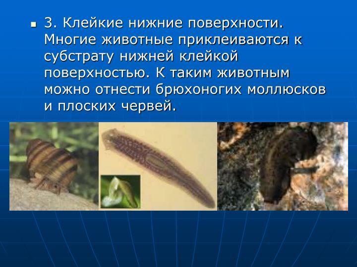 3. Клейкие нижние поверхности. Многие животные приклеиваются к субстрату нижней клейкой поверхностью. К таким животным можно отнести брюхоногих моллюсков и плоских червей.