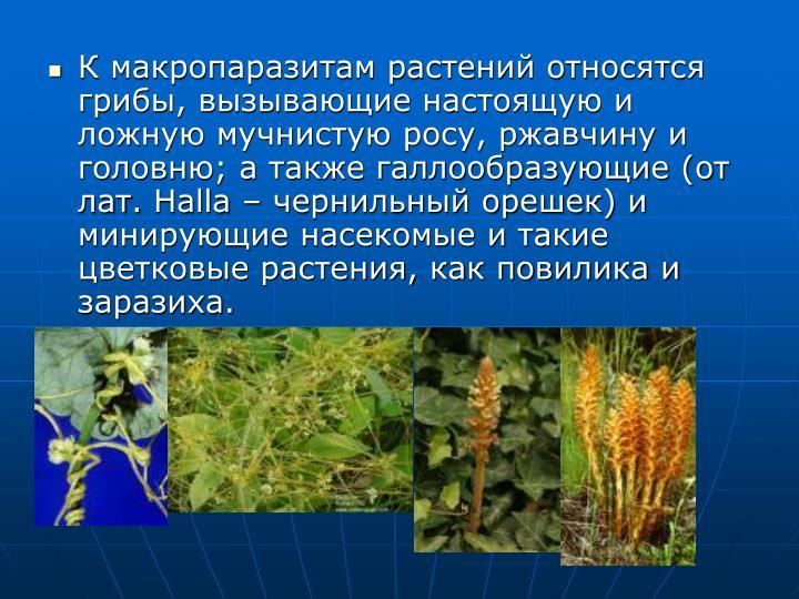 К макропаразитам растений относятся грибы, вызывающие настоящую и ложную мучнистую росу, ржавчину и головню; а также галлообразующие (от лат.