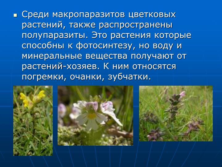 Среди макропаразитов цветковых растений, также распространены полупаразиты. Это растения которые способны к фотосинтезу, но воду и минеральные вещества получают от растений-хозяев. К ним относятся погремки, очанки, зубчатки.