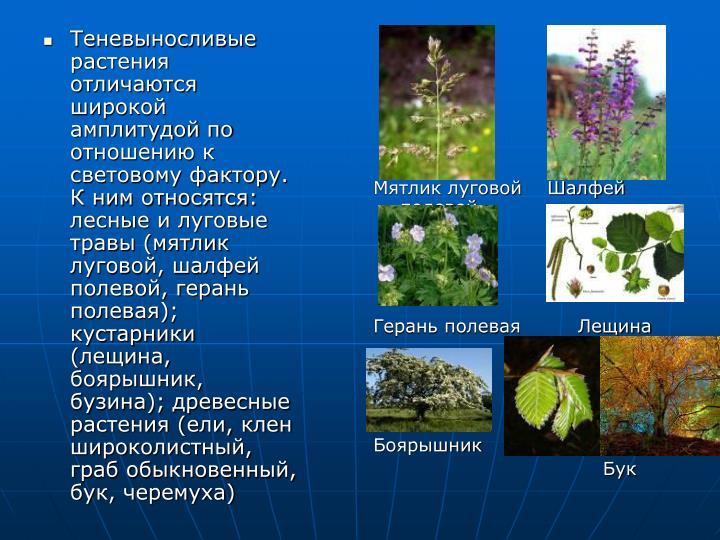 Теневыносливые растения отличаются широкой амплитудой по отношению к световому фактору. К ним относятся: лесные и луговые травы (мятлик луговой, шалфей полевой, герань полевая); кустарники (лещина, боярышник, бузина); древесные растения (ели, клен широколистный, граб обыкновенный, бук, черемуха)