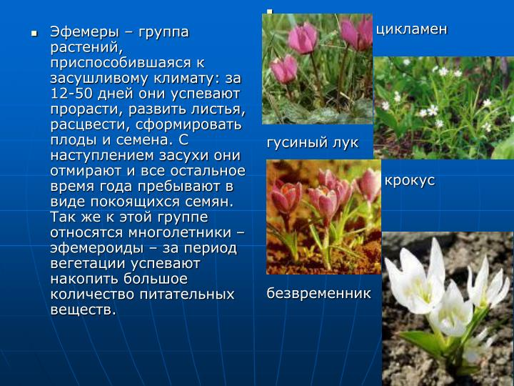 Эфемеры – группа растений, приспособившаяся к засушливому климату: за 12-50 дней они успевают прорасти, развить листья, расцвести, сформировать плоды и семена. С наступлением засухи они отмирают и все остальное время года пребывают в виде покоящихся семян. Так же к этой группе относятся многолетники – эфемероиды – за период вегетации успевают накопить большое количество питательных веществ.