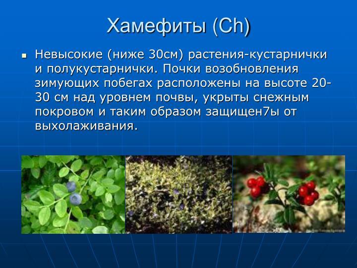 Хамефиты