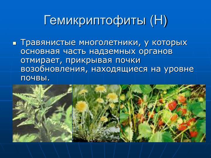 Гемикриптофиты