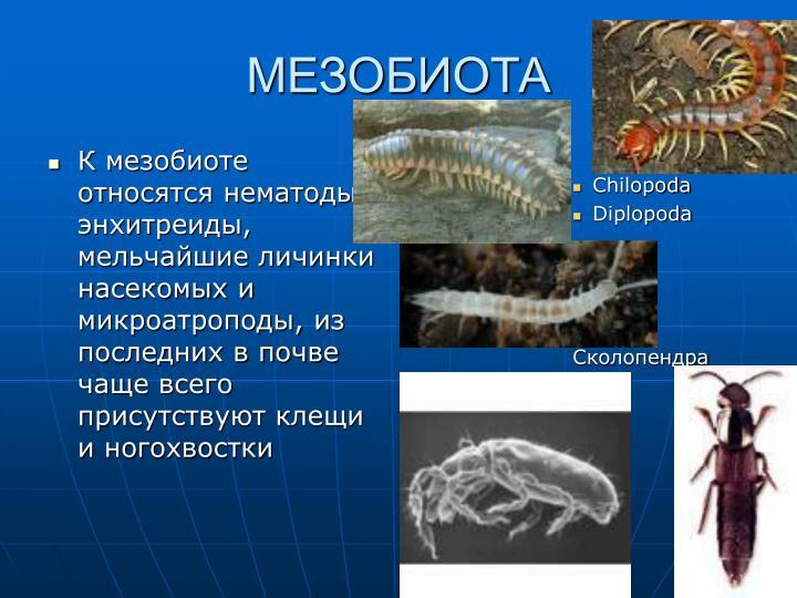 К мезобиоте относятся нематоды, энхитреиды, мельчайшие личинки насекомых и микроатроподы, из последних в почве чаще всего присутствуют клещи и ногохвостки
