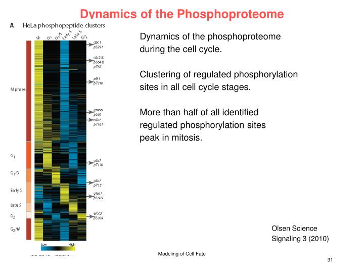 Dynamics of the Phosphoproteome